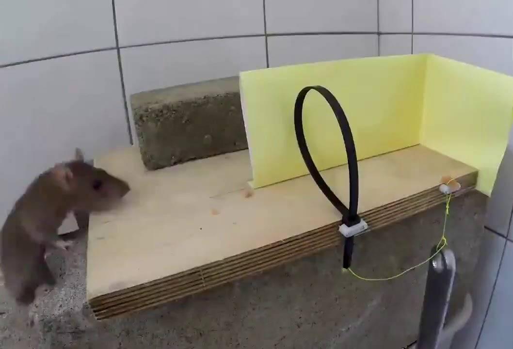 Как поймать крысу в доме или квартире: самодельные и покупные ловушки