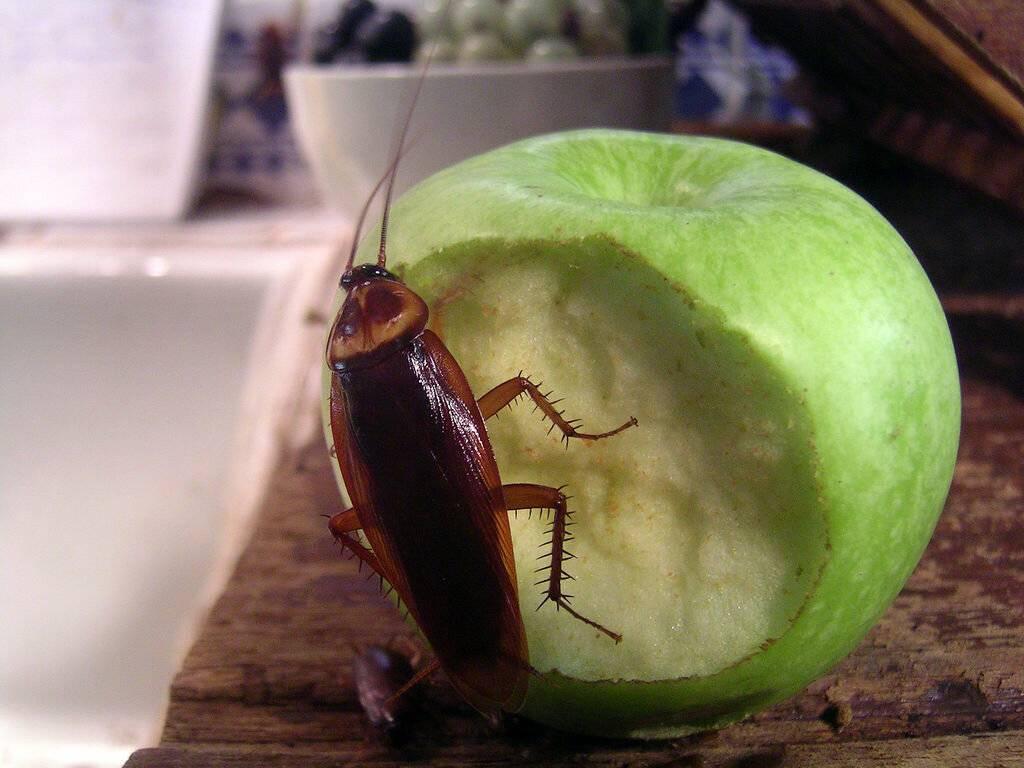 Чем питаются тараканы в квартире?