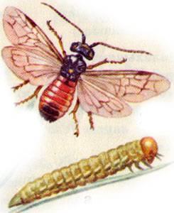 Звездчатый пилильщик ткач меры борьбы. пилильщик-ткач. приобщены ли эти насекомые к ремеслу? химические методы борьбы