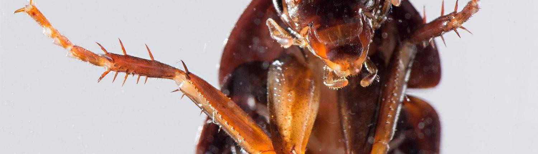 Могут ли кусать тараканы человека