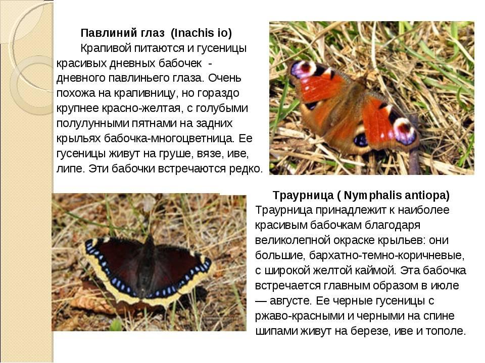 Бабочка павлиний глаз описание, чем питается, интересные факты об образе жизни, как зимуют, сколько живут, среда обитания