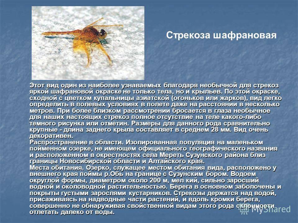 Стрекоза красотка-девушка - грациозная хищница