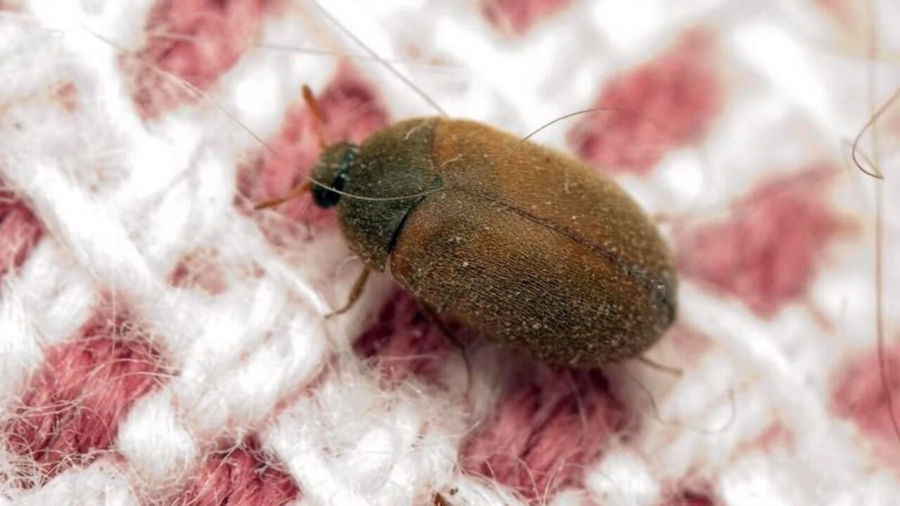 Как избавиться от жуков кожеедов и их личинок в квартире
