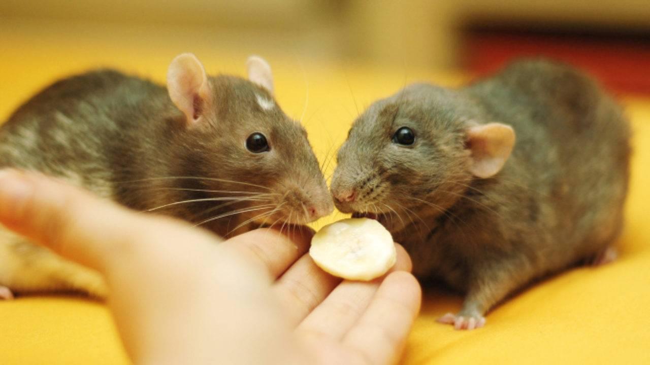 Как определить возраст крысы: до какого возраста растут декоративные зверьки, как узнать, сколько лет, по хвосту и размеру, по человеческим меркам