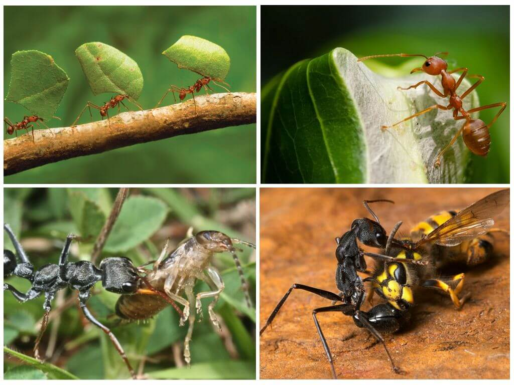 Кто питается муравьями - сорнякам нет