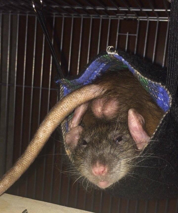 Почему декоративная крыса стучит зубками