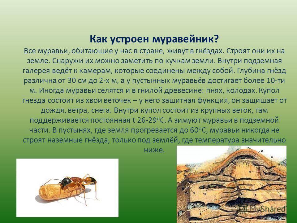 Виды муравьев и особенности жизни: как выглядят, фото, сколько живут и прочее