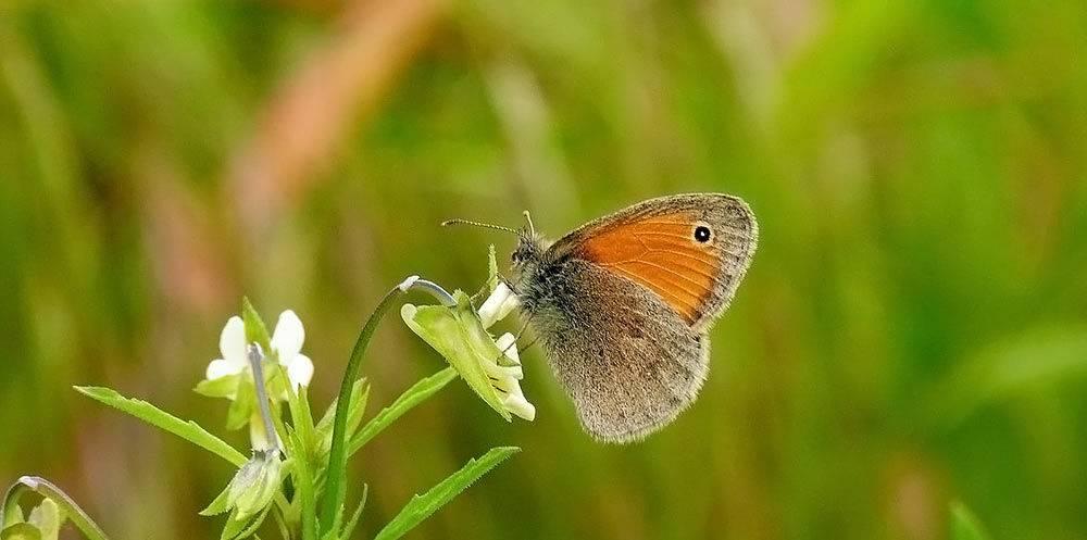 Бражник глазчатый – фото и описание необычной бабочки