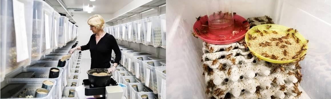 Чем питаются сверчки: обязательный рацион питания сверчков