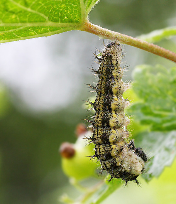 Бабочка крапивница - описание, среда обитания, виды