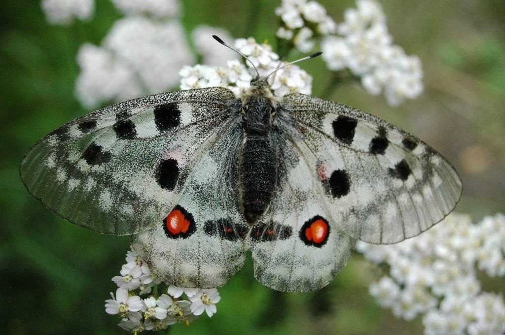 Бабочка медведица-госпожа: пестрый мотылек из красной книги