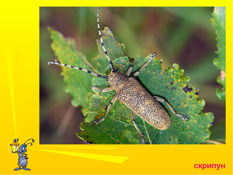 Златка большая сосновая: особенности видов из семейства buprestidae