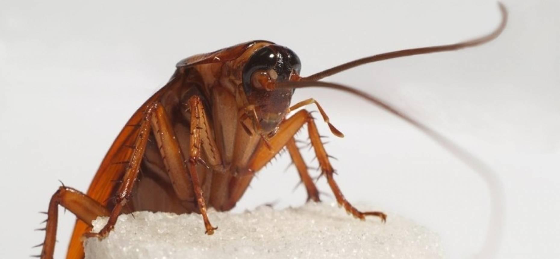 Без еды, воды и головы: сколько живут тараканы?