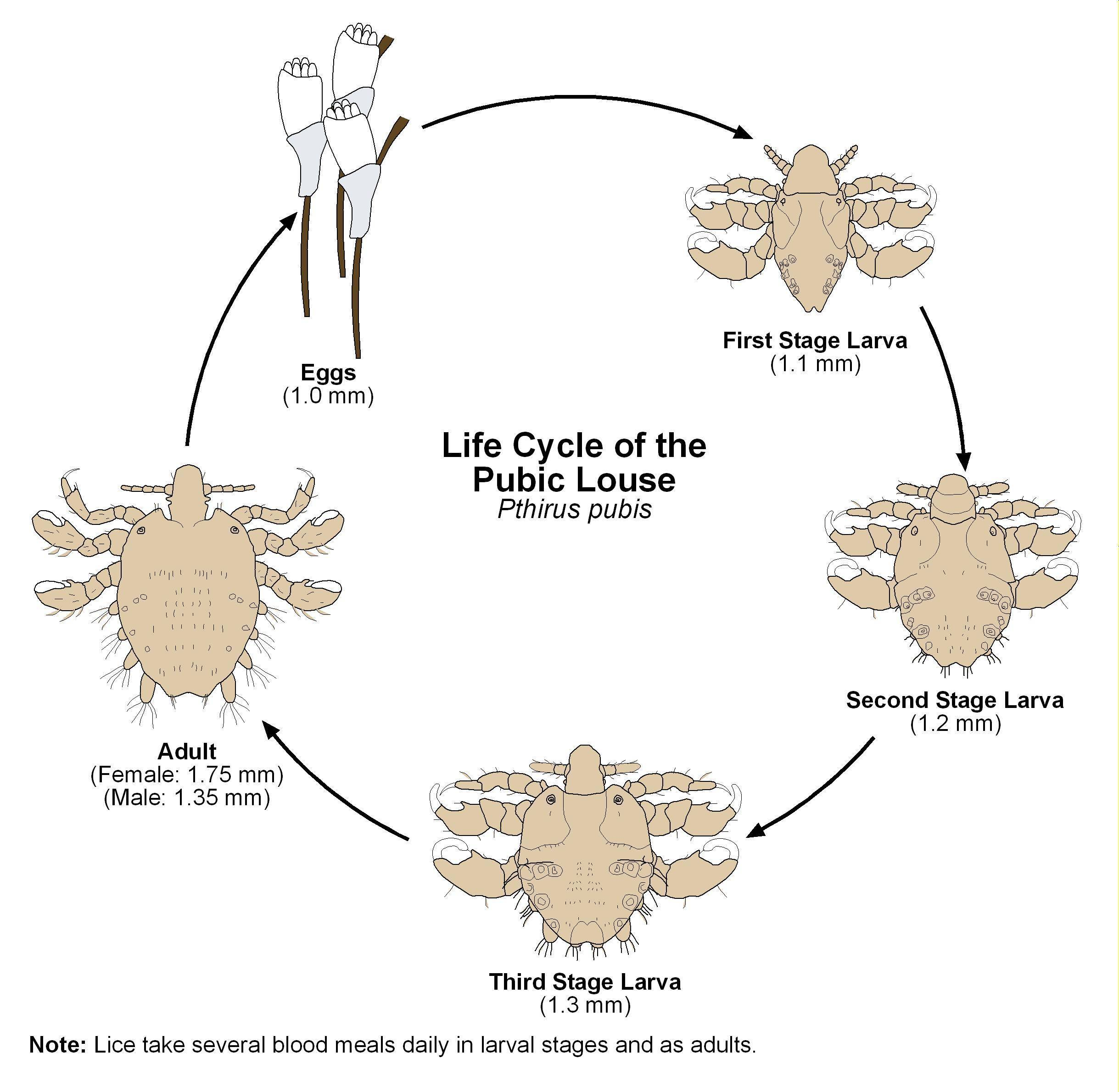 Размножение вшей у человека: насколько быстро происходит