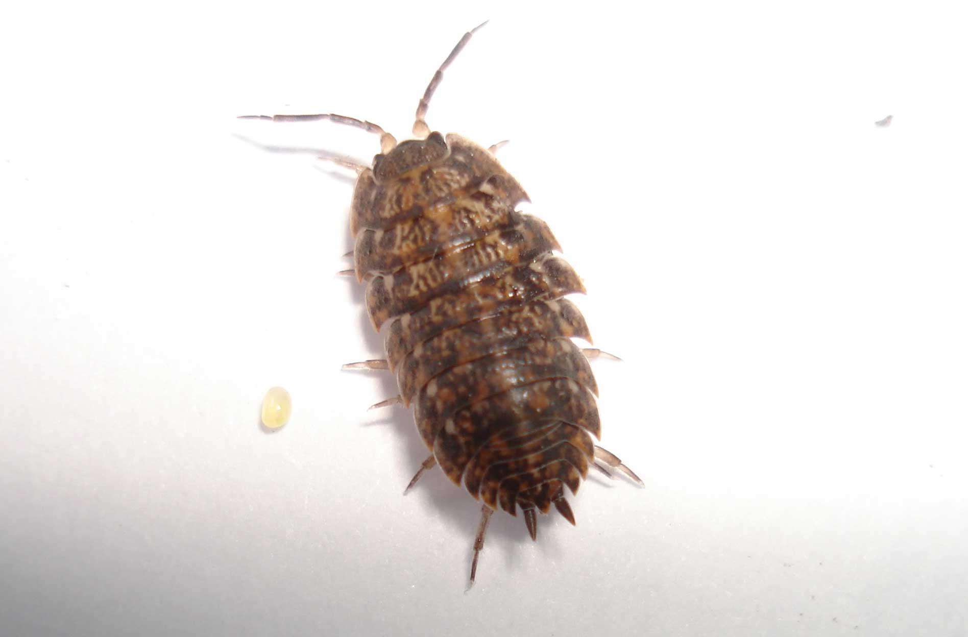 Как избавиться от мокриц в квартире самостоятельно: какими средствами вывести это насекомое в домашних условиях, как борьба с ним выглядит на фото? русский фермер