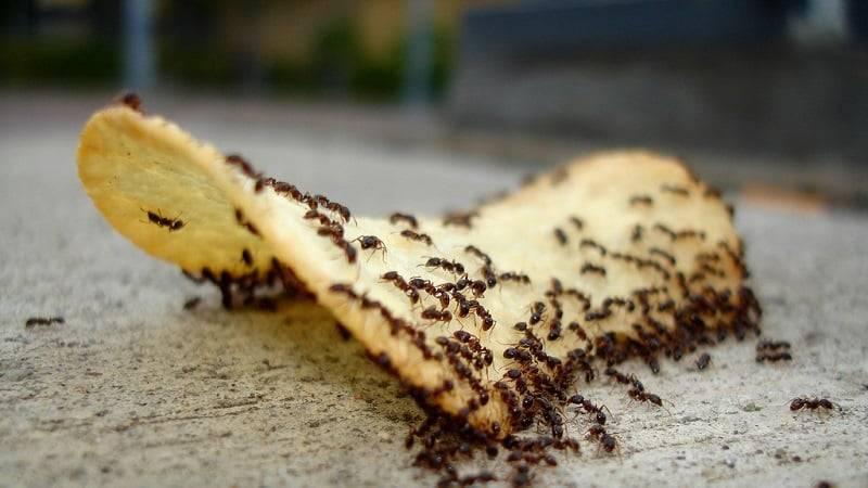 Как избавиться от муравьев в доме навсегда: народные средства, современные методы