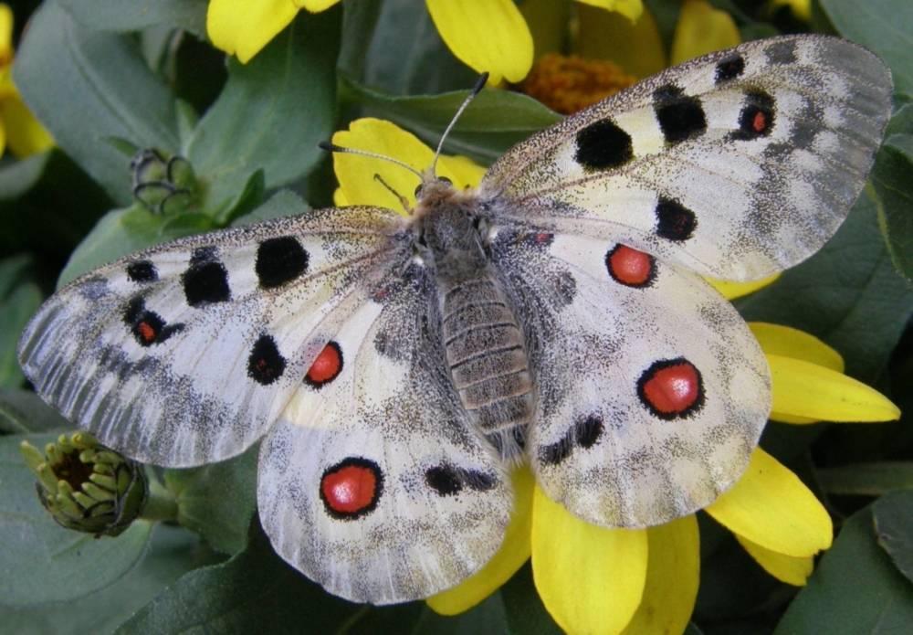 Бабочка аполлон обыкновенный: интересные факты о жизни крупнейшего представителя рода парнассиус